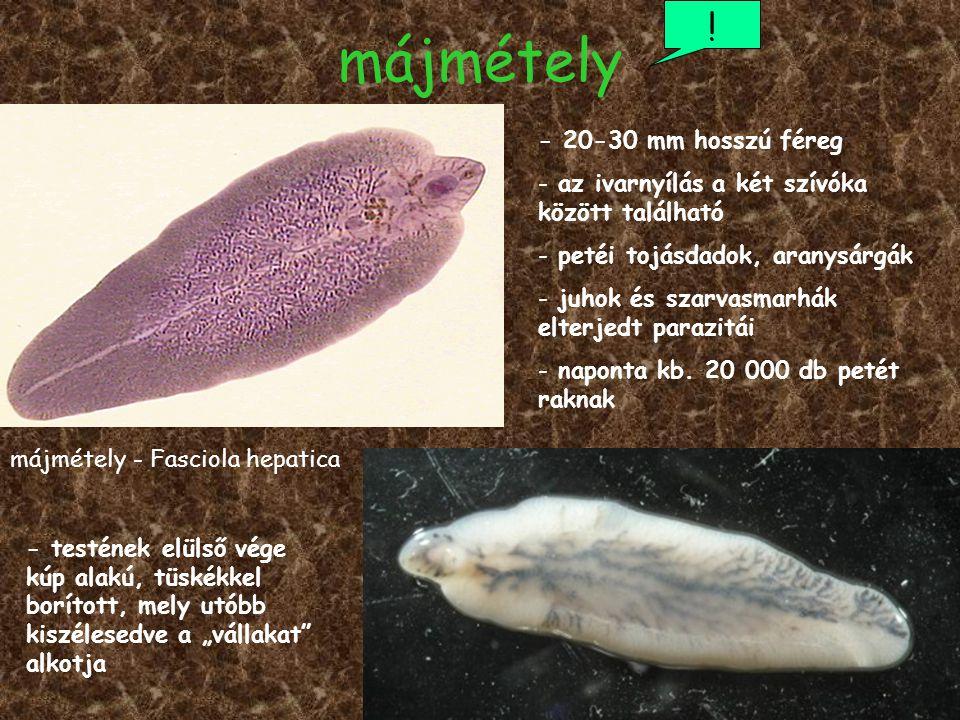 májmétely ! májmétely - Fasciola hepatica - 20-30 mm hosszú féreg - az ivarnyílás a két szívóka között található - petéi tojásdadok, aranysárgák - juh