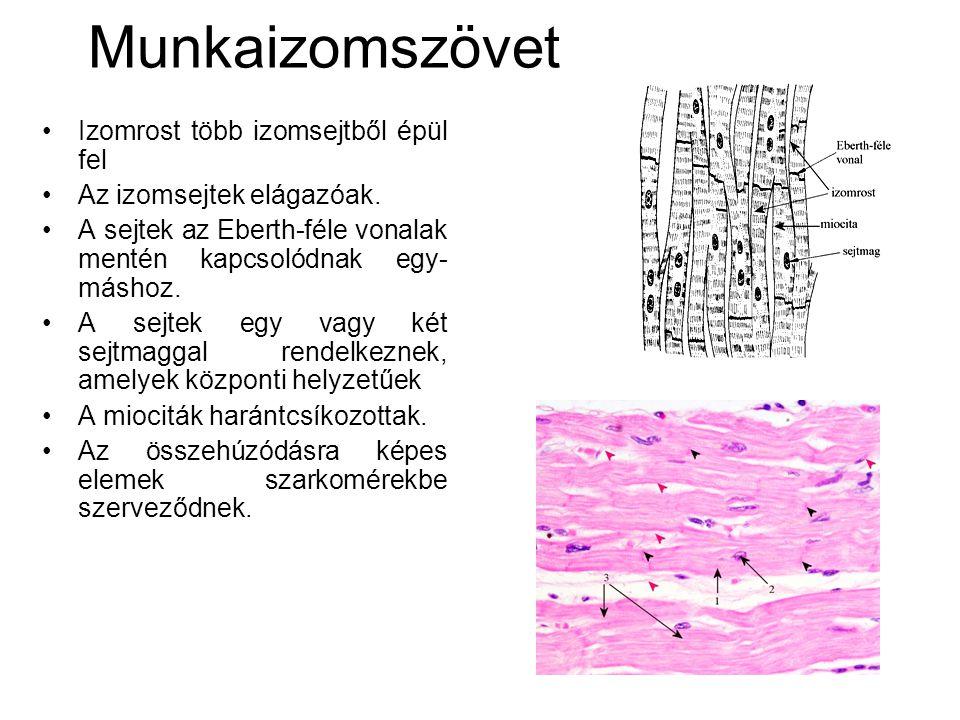 Munkaizomszövet •Izomrost több izomsejtből épül fel •Az izomsejtek elágazóak. •A sejtek az Eberth-féle vonalak mentén kapcsolódnak egy- máshoz. •A sej