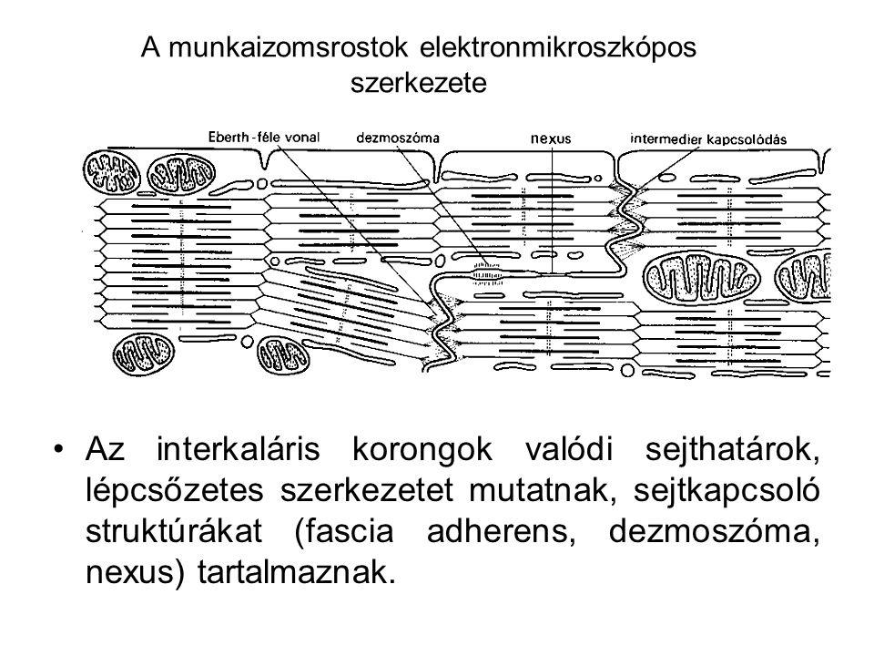 A munkaizomsrostok elektronmikroszkópos szerkezete •Az interkaláris korongok valódi sejthatárok, lépcsőzetes szerkezetet mutatnak, sejtkapcsoló strukt