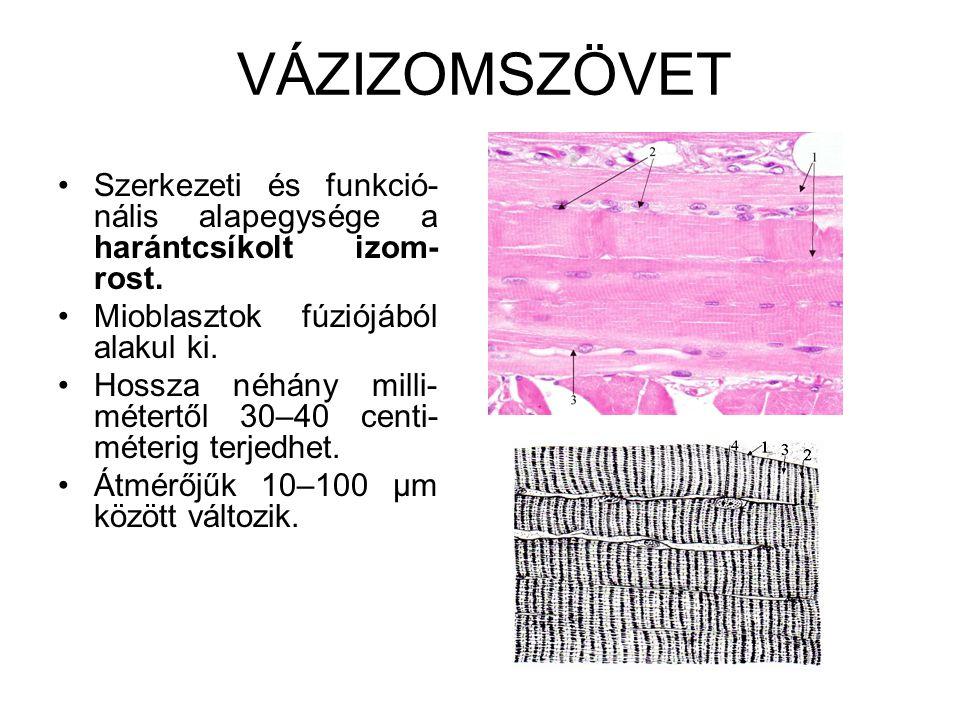 VÁZIZOMSZÖVET •Szerkezeti és funkció- nális alapegysége a harántcsíkolt izom- rost. •Mioblasztok fúziójából alakul ki. •Hossza néhány milli- métertől