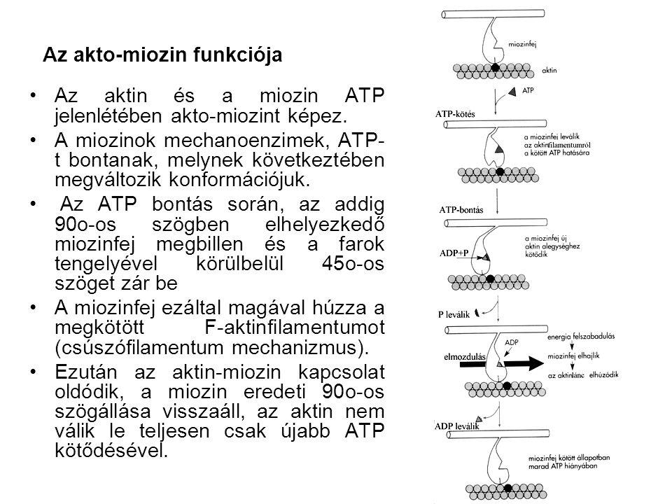 Az akto-miozin funkciója •Az aktin és a miozin ATP jelenlétében akto-miozint képez. •A miozinok mechanoenzimek, ATP- t bontanak, melynek következtében