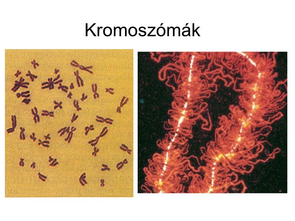 A telomereken nagyszámú G-C gazdag repetitív szekvencia található.
