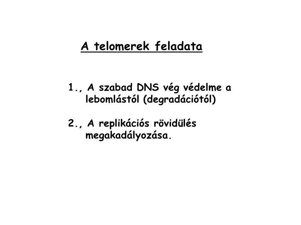 A telomerek feladata 1., A szabad DNS vég védelme a lebomlástól (degradációtól) 2., A replikációs rövidülés megakadályozása.