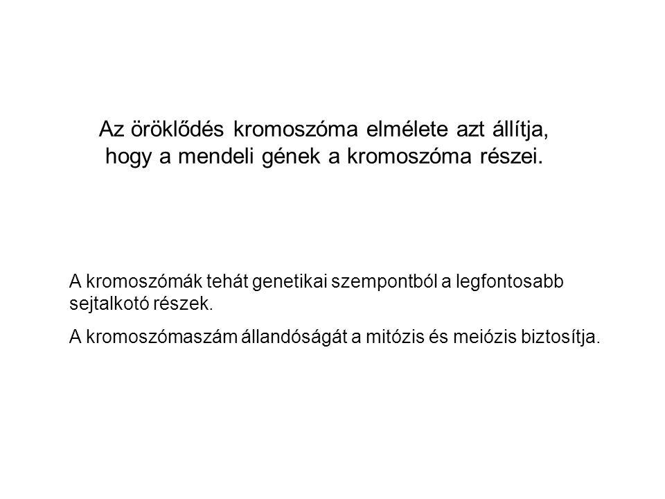 Az öröklődés kromoszóma elmélete azt állítja, hogy a mendeli gének a kromoszóma részei.