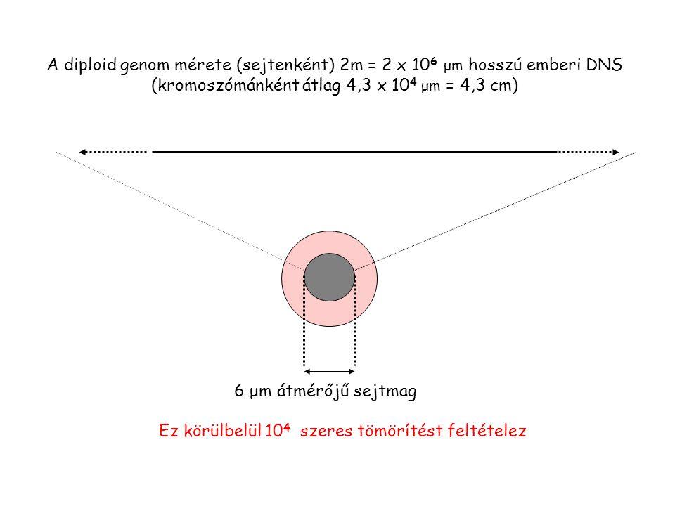 A diploid genom mérete (sejtenként) 2m = 2 x 10 6 μm hosszú emberi DNS (kromoszómánként átlag 4,3 x 10 4 μm = 4,3 cm) 6 μm átmérőjű sejtmag Ez körülbelül 10 4 szeres tömörítést feltételez
