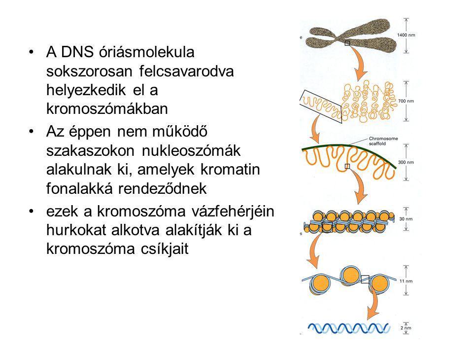 •A DNS óriásmolekula sokszorosan felcsavarodva helyezkedik el a kromoszómákban •Az éppen nem működő szakaszokon nukleoszómák alakulnak ki, amelyek kromatin fonalakká rendeződnek •ezek a kromoszóma vázfehérjéin hurkokat alkotva alakítják ki a kromoszóma csíkjait