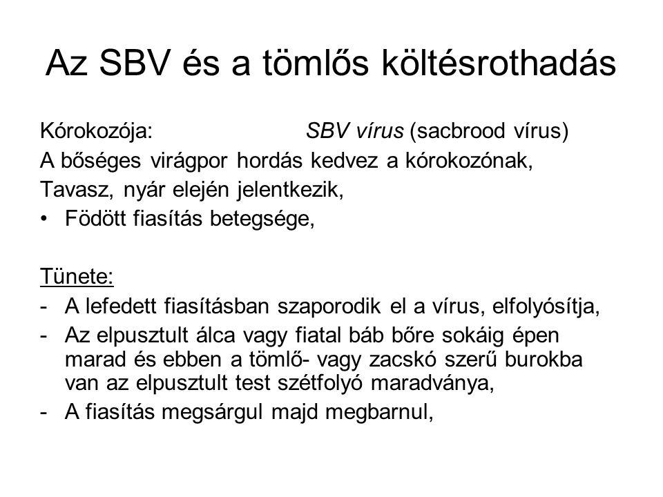 Az SBV és a tömlős költésrothadás Kórokozója: SBV vírus (sacbrood vírus) A bőséges virágpor hordás kedvez a kórokozónak, Tavasz, nyár elején jelentkez