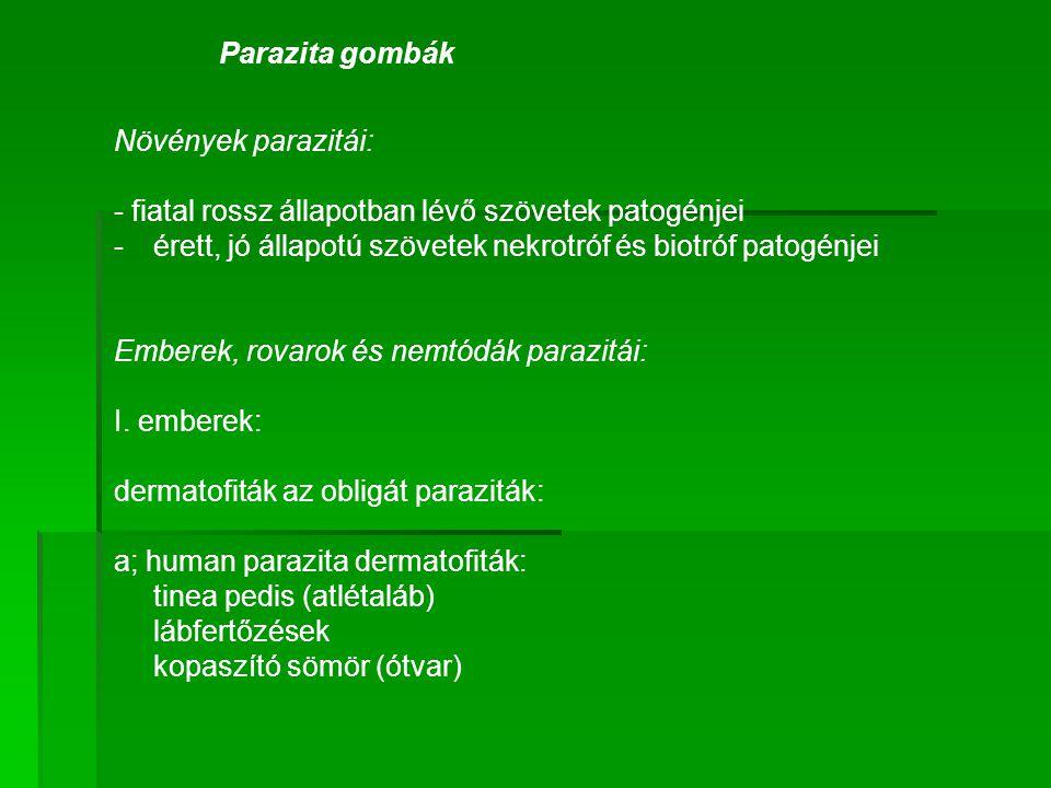 Parazita gombák Növények parazitái: - fiatal rossz állapotban lévő szövetek patogénjei -érett, jó állapotú szövetek nekrotróf és biotróf patogénjei Em