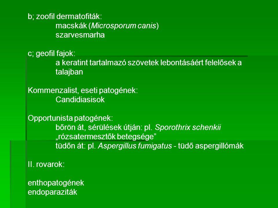 b; zoofil dermatofiták: macskák (Microsporum canis) szarvesmarha c; geofil fajok: a keratint tartalmazó szövetek lebontásáért felelősek a talajban Kom