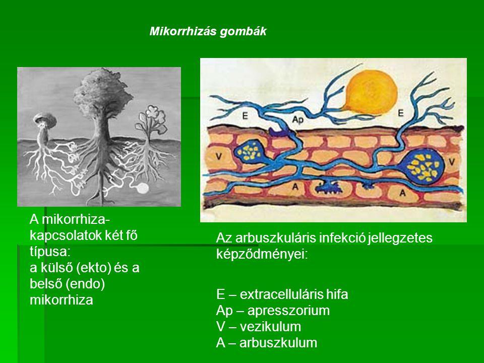 Mikorrhizás gombák A mikorrhiza- kapcsolatok két fő típusa: a külső (ekto) és a belső (endo) mikorrhiza Az arbuszkuláris infekció jellegzetes képződmé