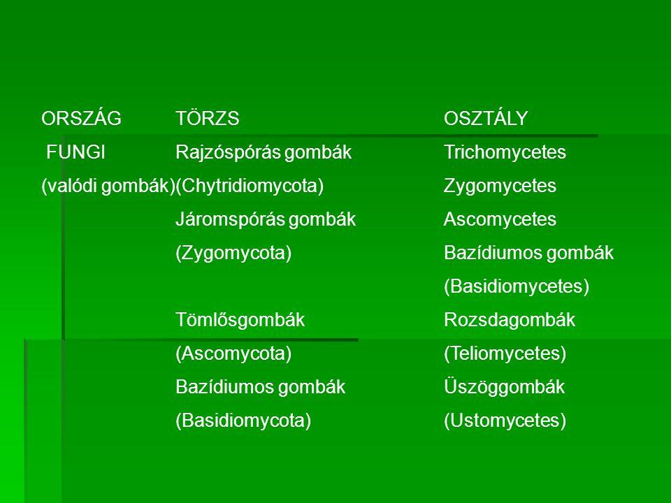 ORSZÁGTÖRZS OSZTÁLY FUNGI Rajzóspórás gombákTrichomycetes (valódi gombák)(Chytridiomycota) Zygomycetes Járomspórás gombák Ascomycetes (Zygomycota) Baz