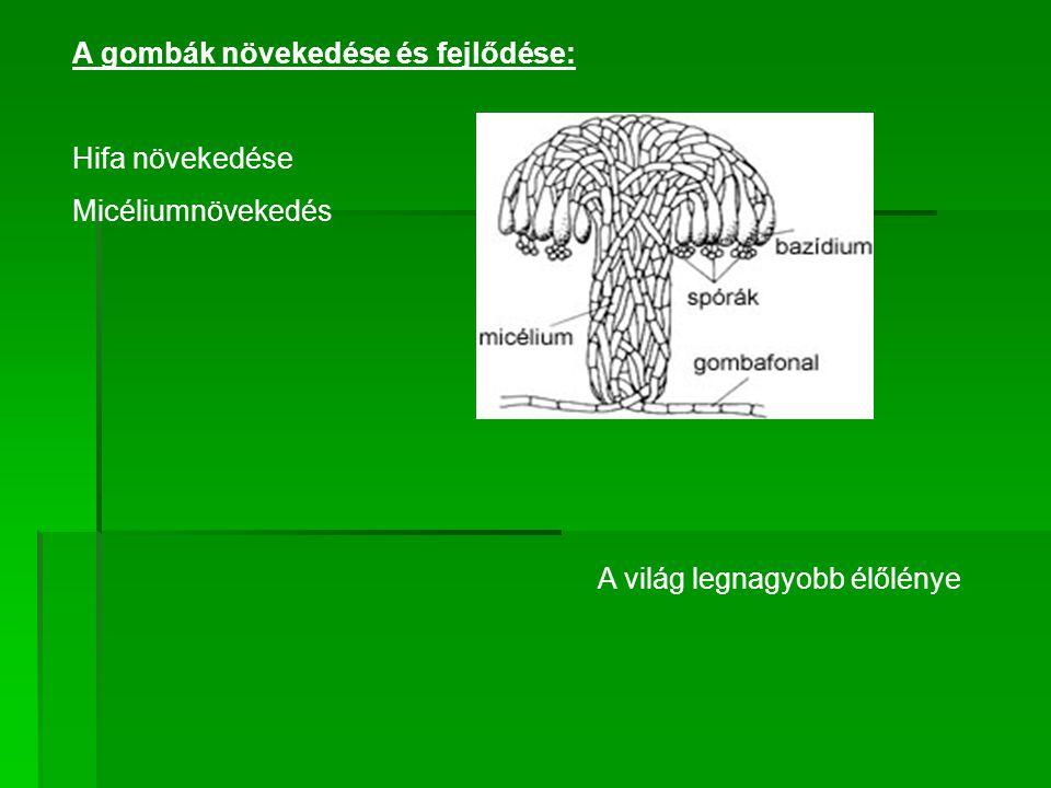 A gombák növekedése és fejlődése: Hifa növekedése Micéliumnövekedés A világ legnagyobb élőlénye