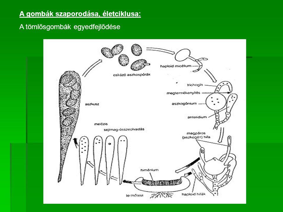 A bazídiumos gombákra jellemző egyedfejlődés