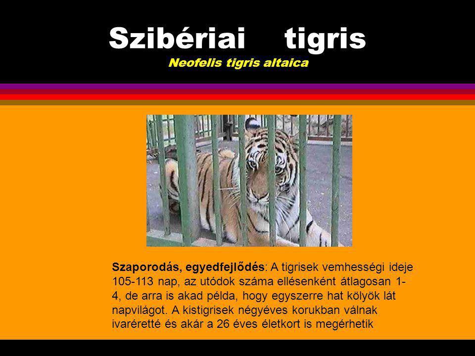 Szibériai tigris Neofelis tigris altaica Életmód, táplálkozás: Magányosan élő állat, ragadozó életmódot folytat, s étlapján szinte mindenféle állat szerepel, amit csak be tud cserkészni, le tud teríteni.