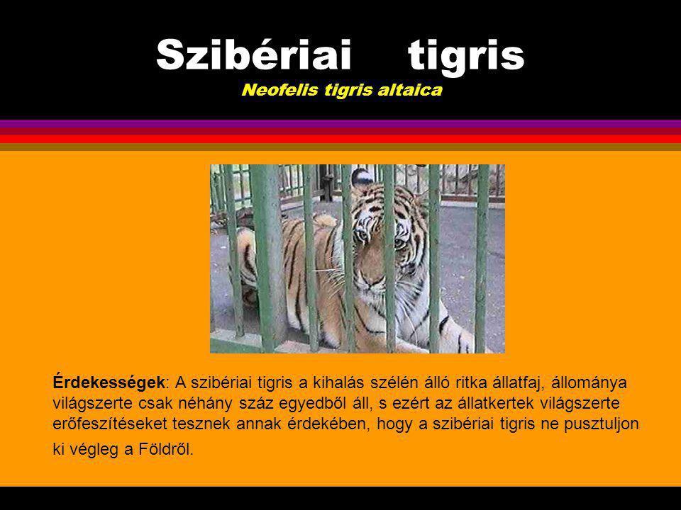 Szibériai tigris Neofelis tigris altaica Szaporodás, egyedfejlődés: A tigrisek vemhességi ideje 105-113 nap, az utódok száma ellésenként átlagosan 1- 4, de arra is akad példa, hogy egyszerre hat kölyök lát napvilágot.