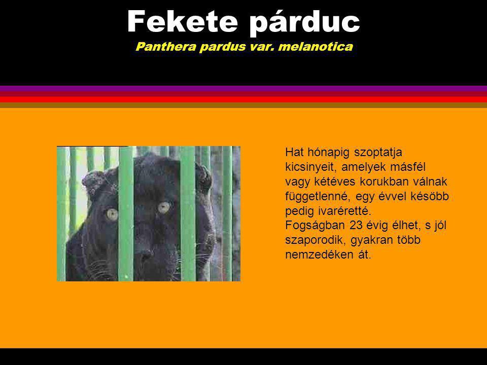 Fekete párduc Panthera pardus var.