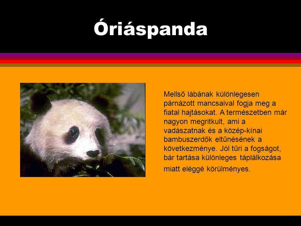 Óriáspanda Az óriáspanda a többi medvével ellentétben, melyek sok húst is fogyasztanak, kizárólag növényevő.