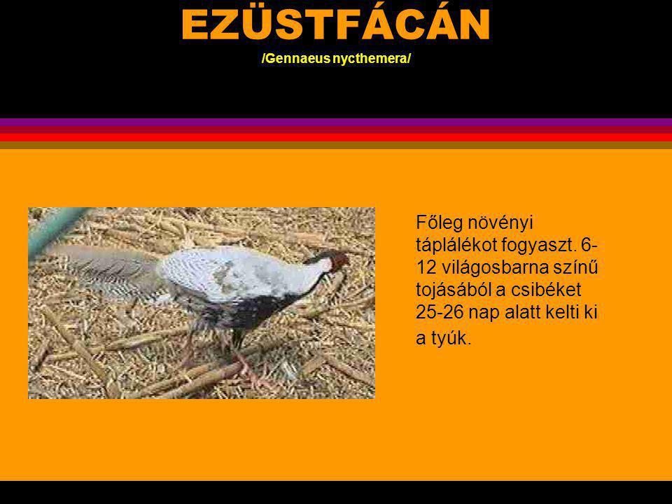 EZÜSTFÁCÁN /Gennaeus nycthemera/ A kakas 110-120 cm, a barna tyúk 70 cm nagyságú, bóbitája kisebb, és sötétbarna színű Délnyugat-Kína, Hátsó- India sűrű erdős helyein, s az őserdő szélén él párban vagy kisebb csoportban,.
