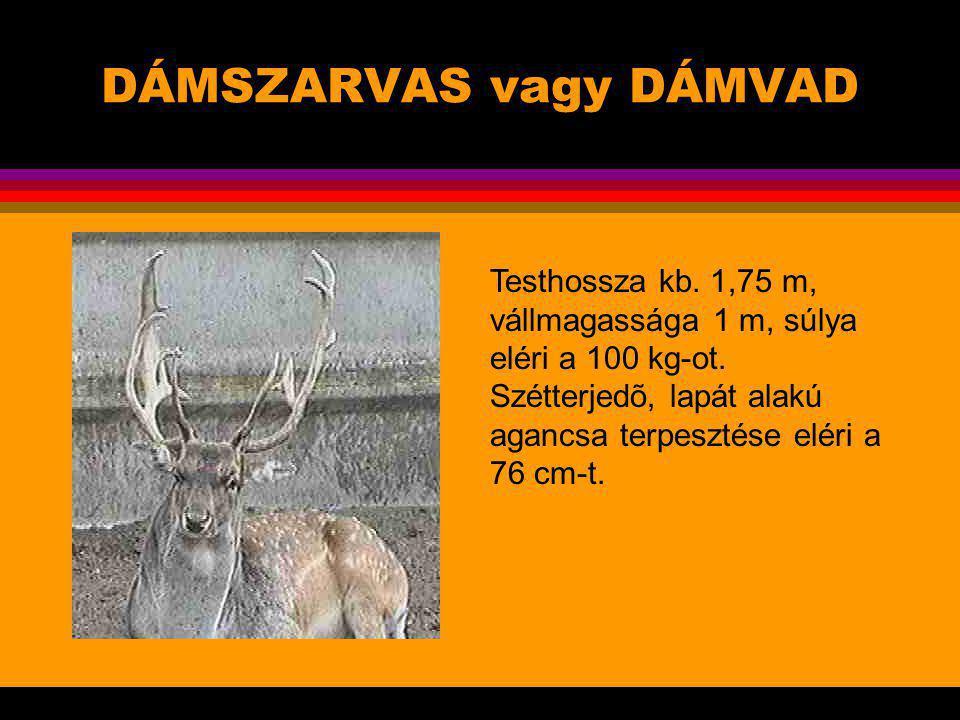 DÁMSZARVAS vagy DÁMVAD A dámszarvas az egyik közismert szarvasfaj, évszázadok óta tartják vadaskertekben, s a világ sok állatkertjének népszerû lakói.
