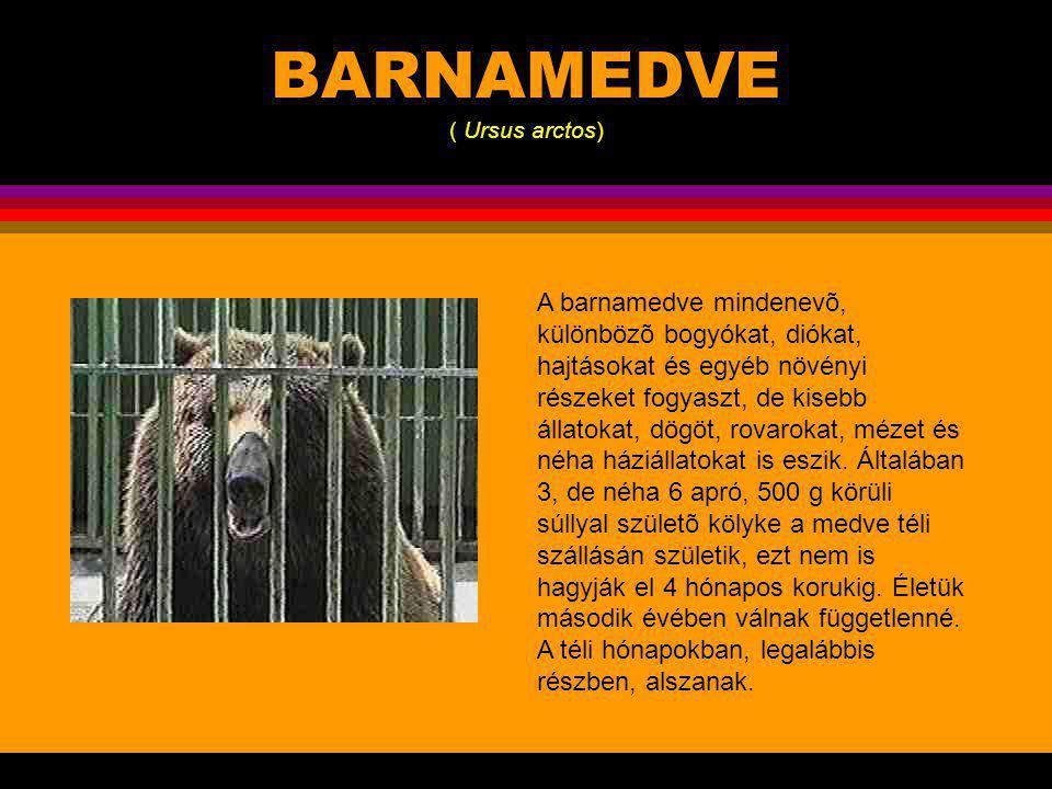BARNAMEDVE ( Ursus arctos) A barnamedve igen változékony faj, olyannyira, hogy az újvilágiakat sokáig külön fajba sorolták.