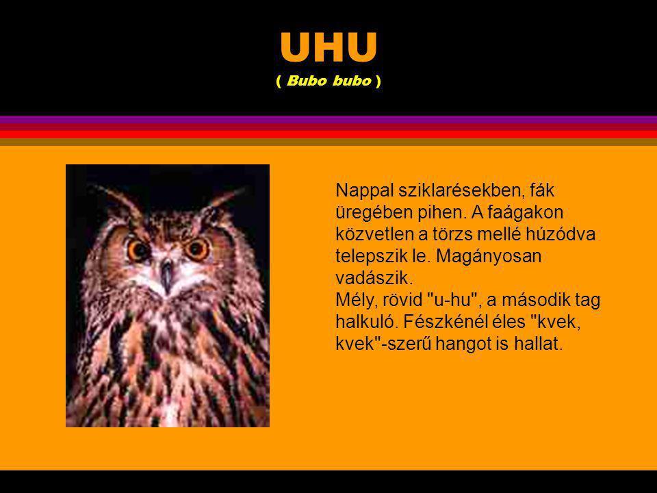 UHU ( Bubo bubo ) A legnagyobb európai bagoly.Mintegy kétszer akkora, mint az erdei fülesbagoly.