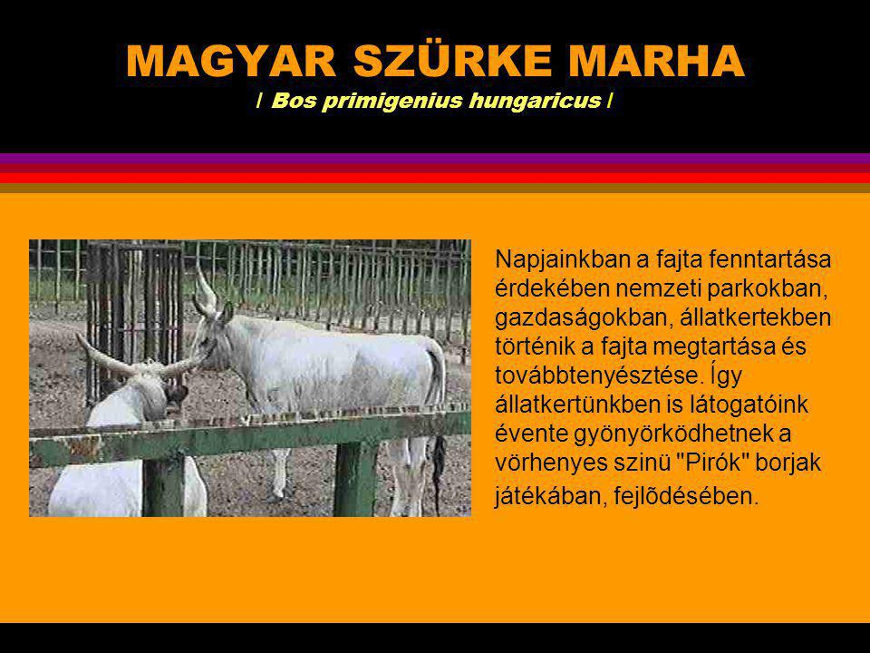 MAGYAR SZÜRKE MARHA / Bos primigenius hungaricus / Ősi rideg tartású háziállat fajtánk.