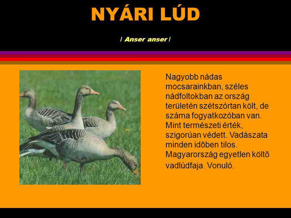 NYÁRI LÚD / Anser anser / A legnagyobb termetûűeurópai vadlúd-faj.