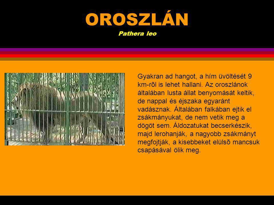 OROSZLÁN Pathera leo.A hím oroszlán 2 m hosszúra nõ,farka további 1 m, súlya eléri a 200 kg-ot.