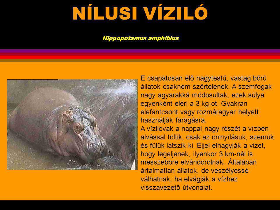 NÍLUSI VÍZILÓ Hippopotamus amphibius.