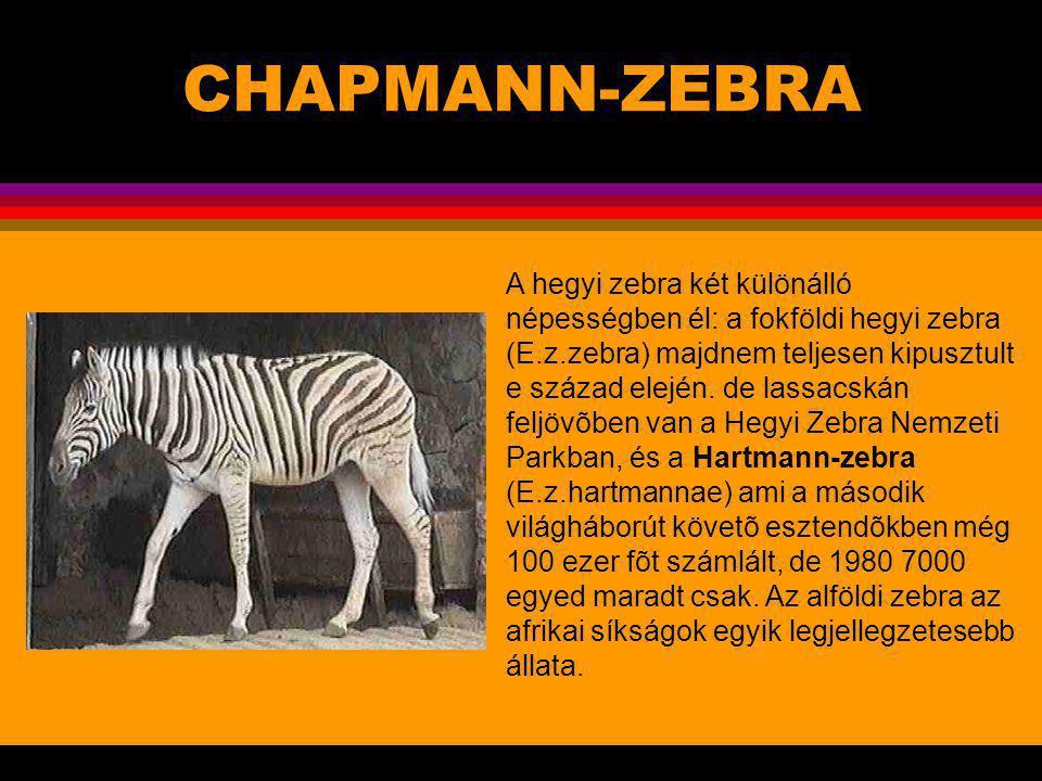 CSIMPÁNZ (Pan troglodytes).