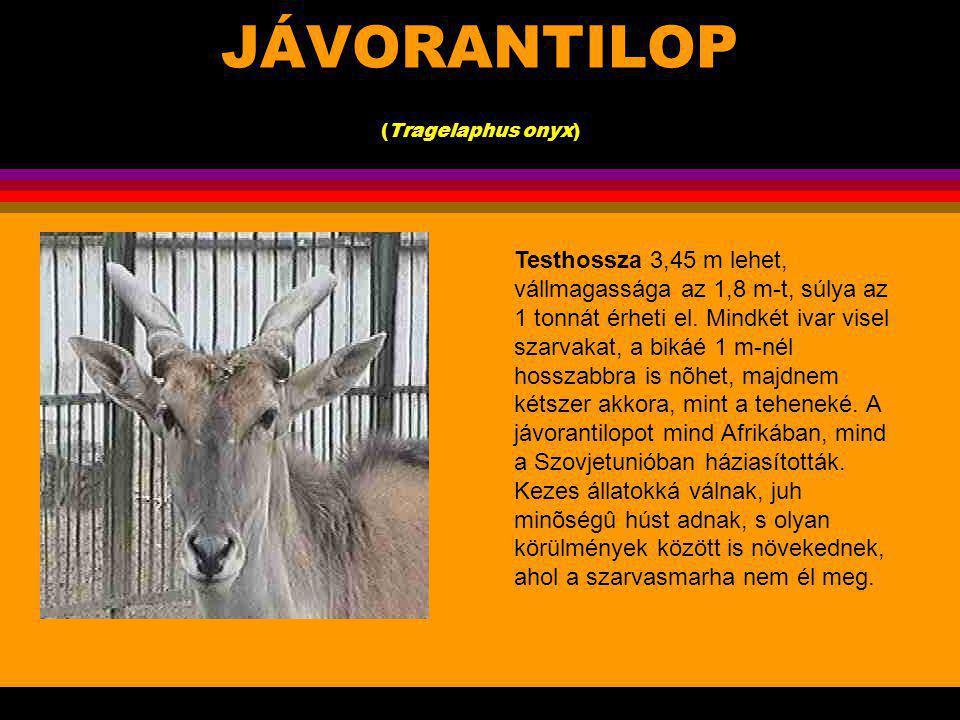 JÁVORANTILOP (Tragelaphus onyx).Két közeli rokon jávorantilopfaj ismert.