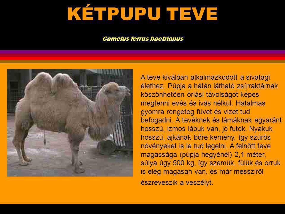 KÉTPUPU TEVE Camelus ferrus bactrianus.