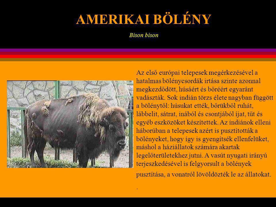 KONTINENSEK AMERIKAI BÖLÉNY Bison bison Az amerikai bölényt Észak- Amerikában buffalónak (bivalynak!) hívják.