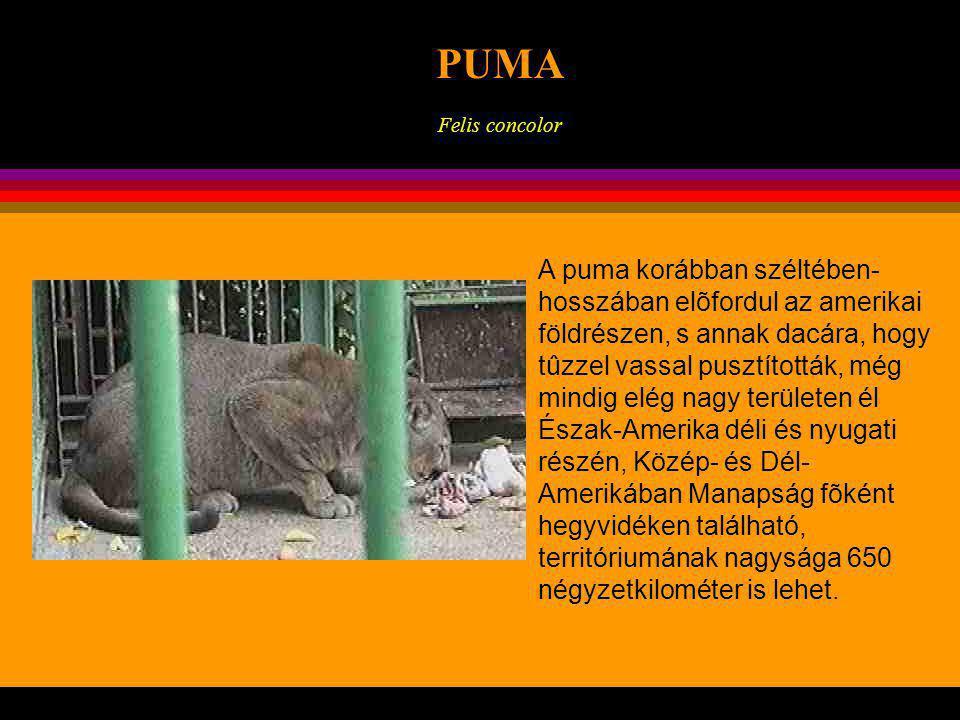 KONTINENSEK PUMA Felis concolor Majdnem olyan méretű, mint a jaguár testhossza eléri a 275 cm-t, ebből farka 90 cm, súlya 100 kg is lehet.