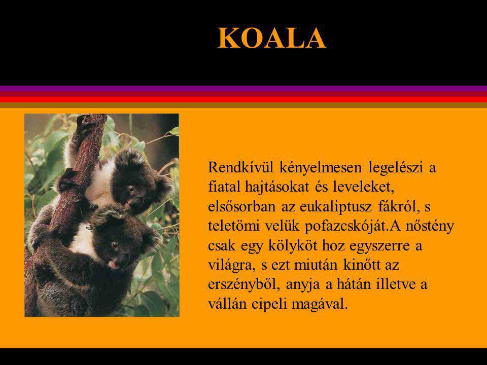 """KOALA A koala Kelet – Ausztrália erdőiben él, s a legmagasabb fákon oly lassan mozog, hogy emiatt """"ausztráliai lajhárnak nevezték el."""