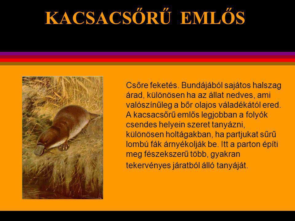 KACSACSŐRŰ EMLŐS Ez az érdekes állat különösen Délkelet- Ausztráliában és Tasmániában található.