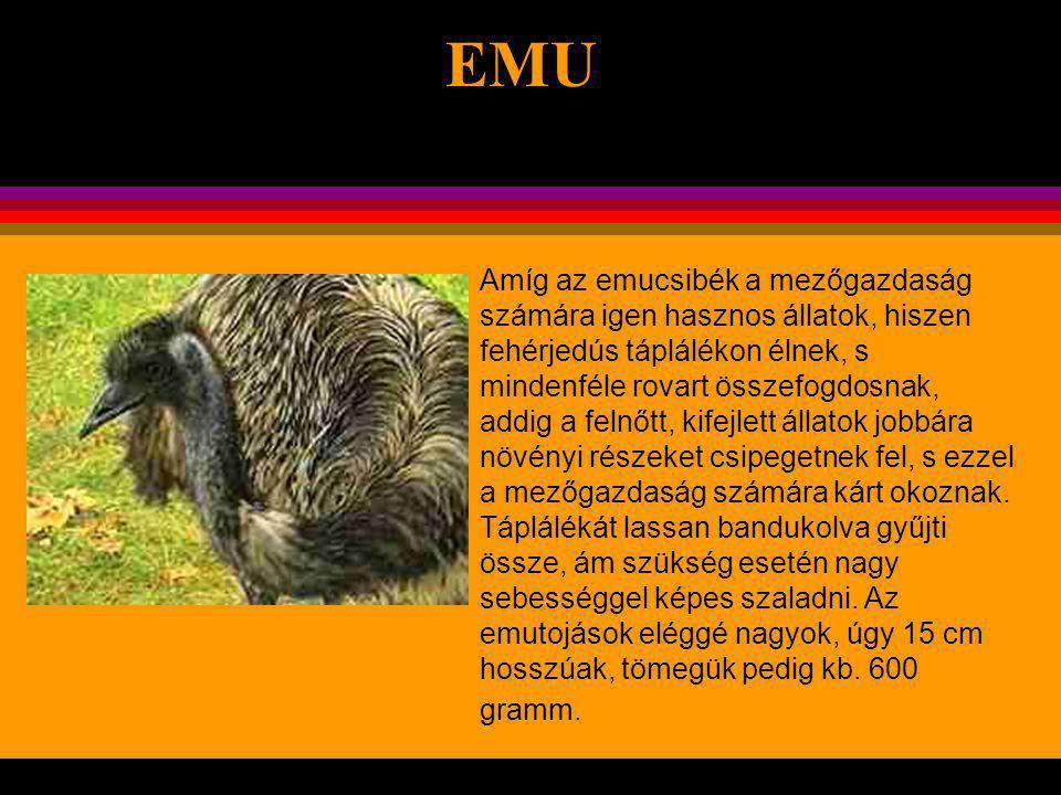 EMU A strucc után Földünk második legnagyobb madara.