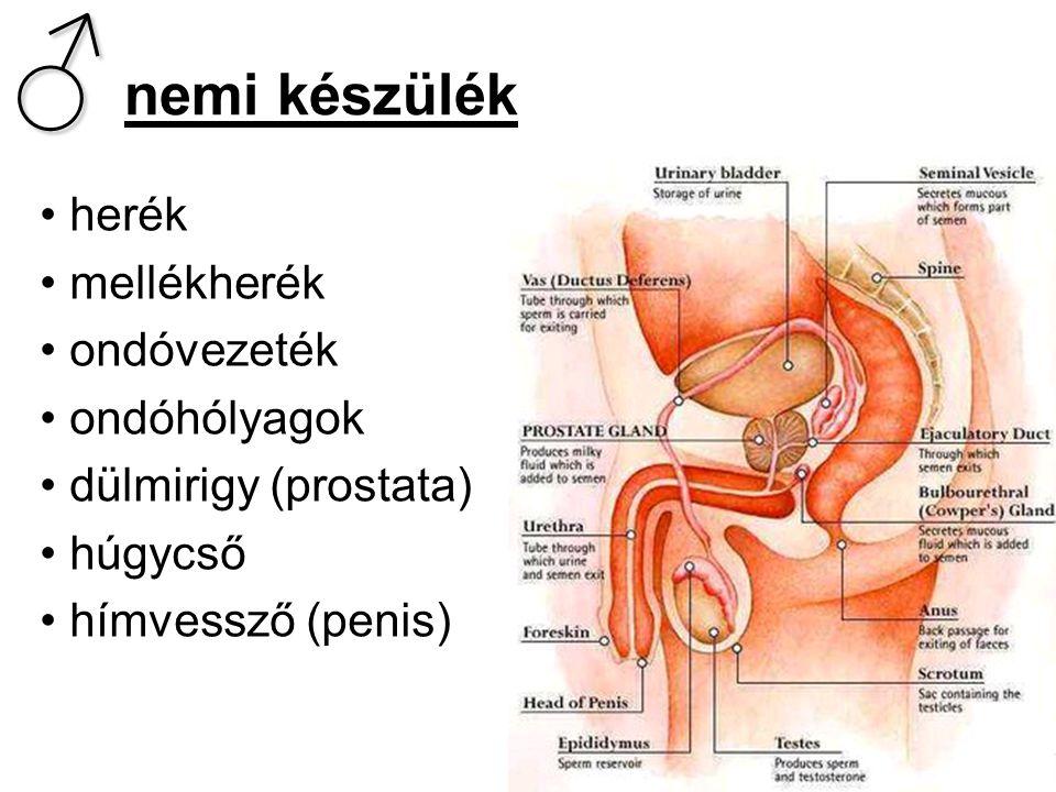 ♂ ♂ nemi készülék • herék • mellékherék • ondóvezeték • ondóhólyagok • dülmirigy (prostata) • húgycső • hímvessző (penis)