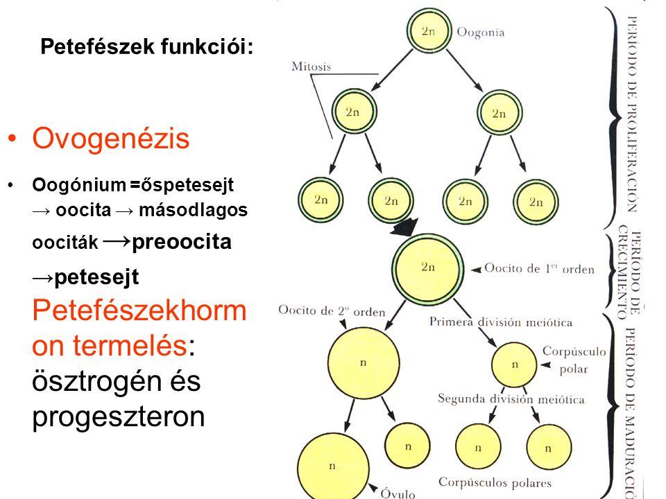 Petefészek funkciói: •Ovogenézis •Oogónium =őspetesejt → oocita → másodlagos oociták → preoocita →petesejt Petefészekhorm on termelés: ösztrogén és pr