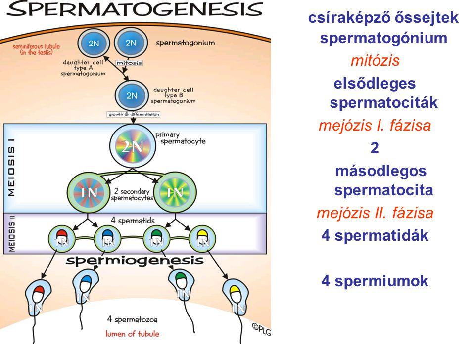 csíraképző őssejtek spermatogónium mitózis elsődleges spermatociták mejózis I. fázisa 2 másodlegos spermatocita mejózis II. fázisa 4 spermatidák 4 spe