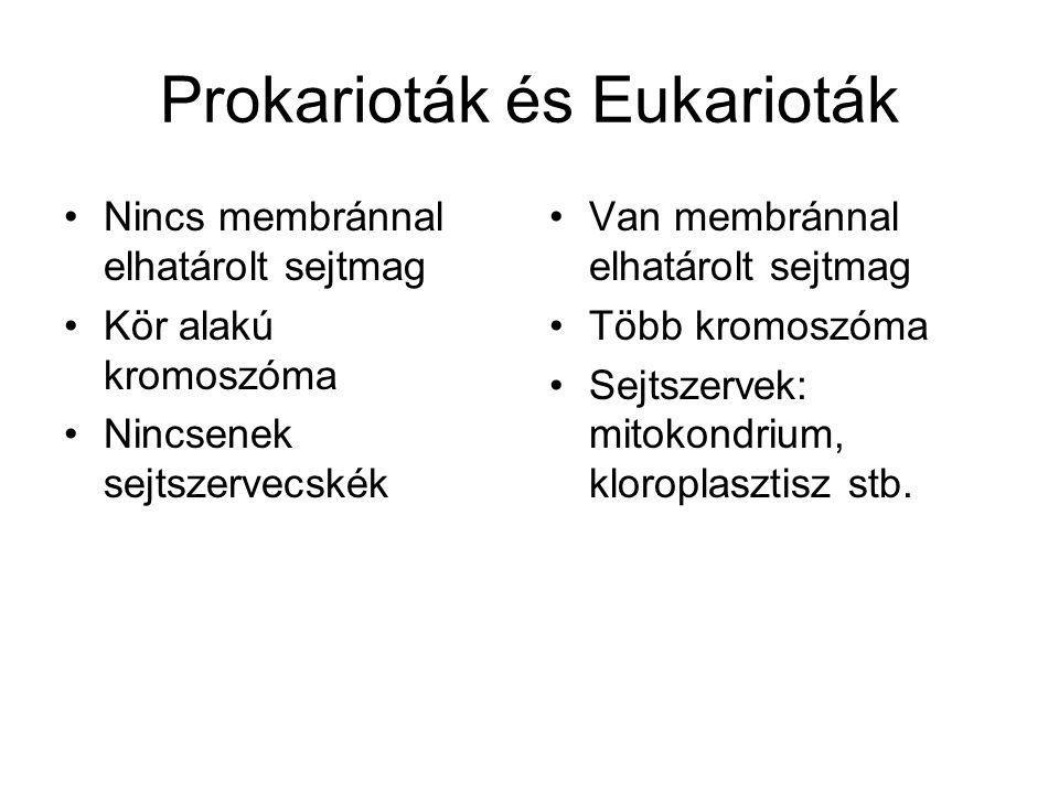 Prokarioták és Eukarioták •Nincs membránnal elhatárolt sejtmag •Kör alakú kromoszóma •Nincsenek sejtszervecskék •Van membránnal elhatárolt sejtmag •Több kromoszóma •Sejtszervek: mitokondrium, kloroplasztisz stb.