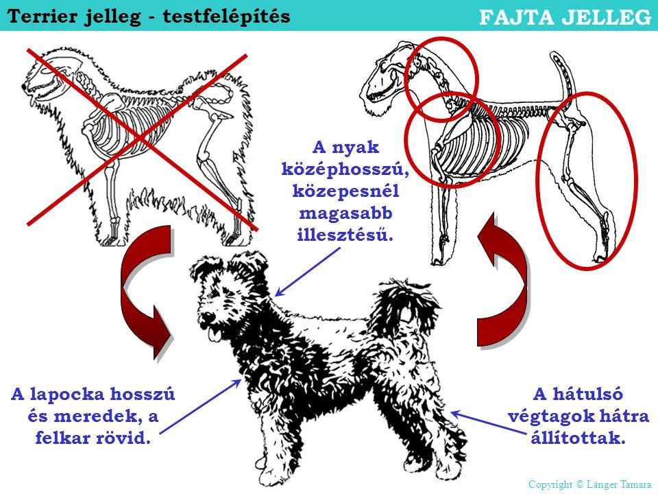 Terrier jelleg - testfelépítés FAJTA JELLEG A nyak középhosszú, közepesnél magasabb illesztésű. A hátulsó végtagok hátra állítottak. A lapocka hosszú