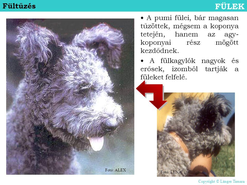Fültűzés FÜLEK • A pumi fülei, bár magasan tűzöttek, mégsem a koponya tetején, hanem az agy- koponyai rész mögött kezdődnek. • A fülkagylók nagyok és