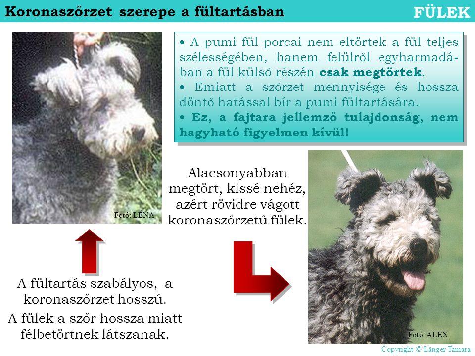 Koronaszőrzet szerepe a fültartásban FÜLEK • A pumi fül porcai nem eltörtek a fül teljes szélességében, hanem felülről egyharmadá- ban a fül külső rés
