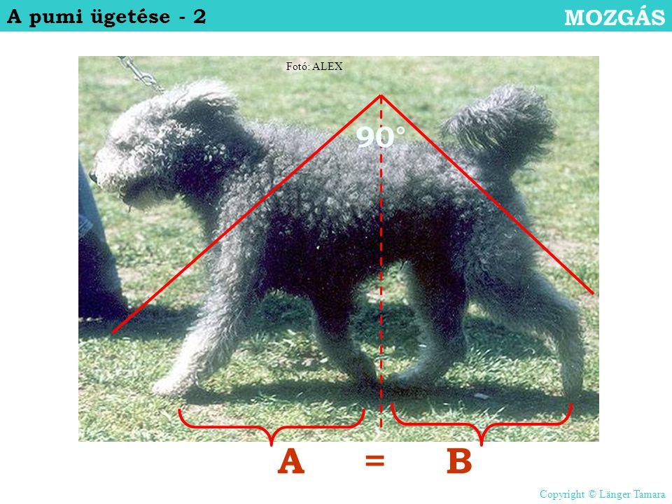 90° AB= A pumi ügetése - 2 MOZGÁS Fotó: ALEX Copyright © Länger Tamara