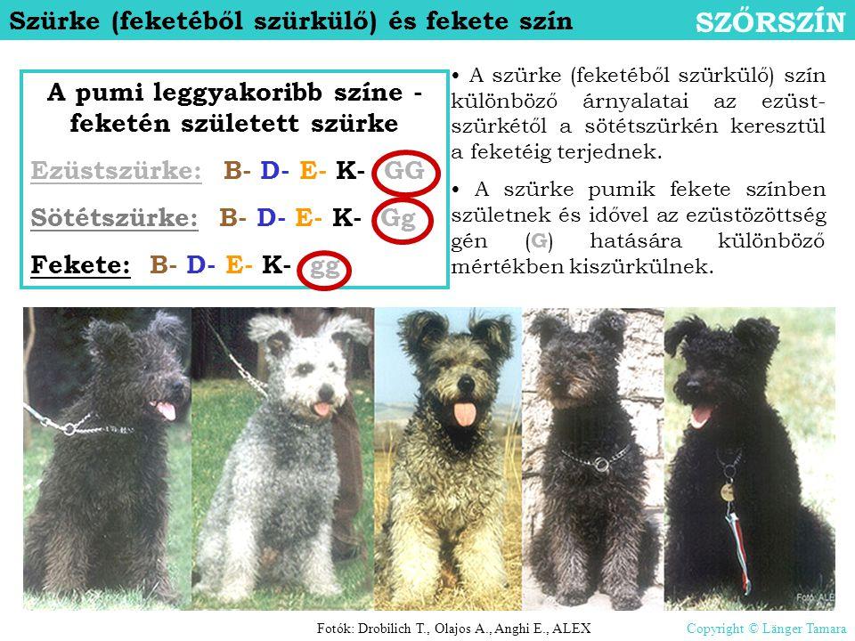 Szürke (feketéből szürkülő) és fekete szín SZŐRSZÍN A pumi leggyakoribb színe - feketén született szürke Ezüstszürke: B- D- E- K- GG Sötétszürke: B- D