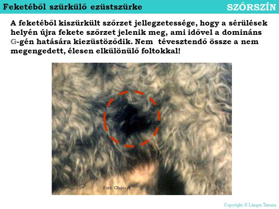 Feketéből szürkülő ezüstszürke SZŐRSZÍN A feketéből kiszürkült szőrzet jellegzetessége, hogy a sérülések helyén újra fekete szőrzet jelenik meg, ami i