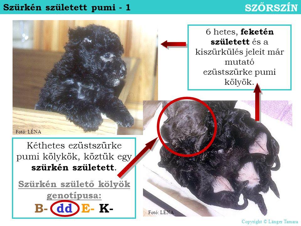 Szürkén született pumi - 1 SZŐRSZÍN 6 hetes, feketén született és a kiszürkülés jeleit már mutató ezüstszürke pumi kölyök. Kéthetes ezüstszürke pumi k