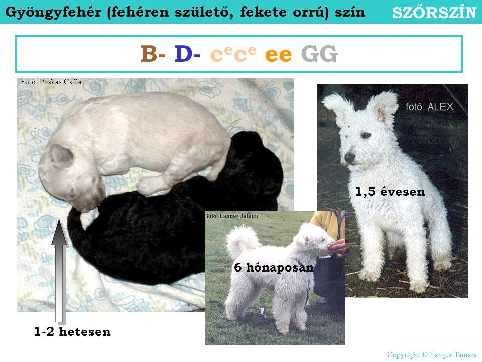 Gyöngyfehér (fehéren születő, fekete orrú) szín SZŐRSZÍN B- D- c e c e ee GG 1-2 hetesen 6 hónaposan 1,5 évesen Fotó: Puskás Csilla Copyright © Länger