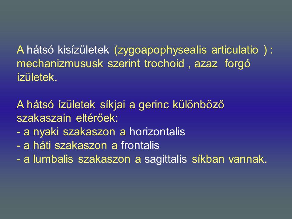 A hátsó kisízületek (zygoapophysealis articulatio ) : mechanizmususk szerint trochoid, azaz forgó ízületek. A hátsó ízületek síkjai a gerinc különböző